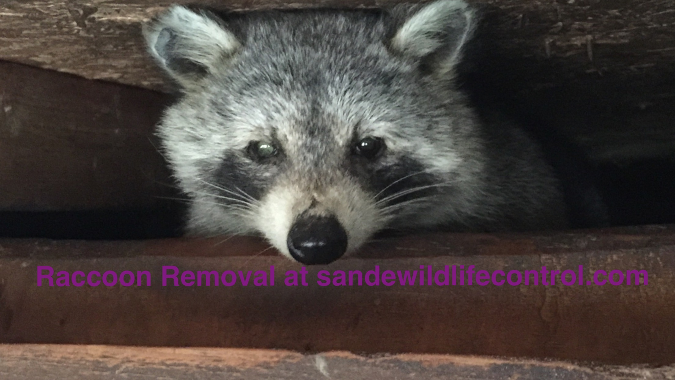 Raccoon Removal-Sande Wildlife Control